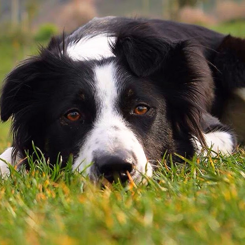 Mara Border Collie