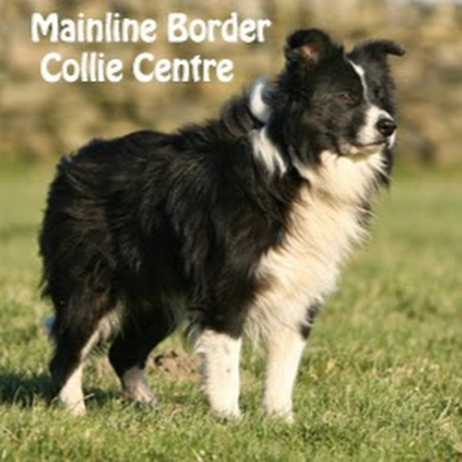 Mainline Border Collie Centre & FOSTBC Collie Rescue - YouTube