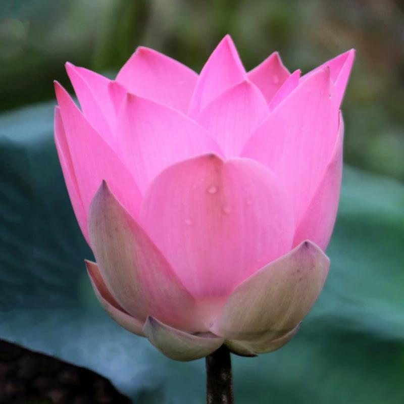 法喜莲花 心灵法门 Guan Yin Lotus