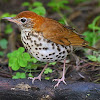 The Wood Thrush Shop
