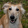 the Dutch Sighthound