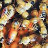 Canyon Rim Honey Bees