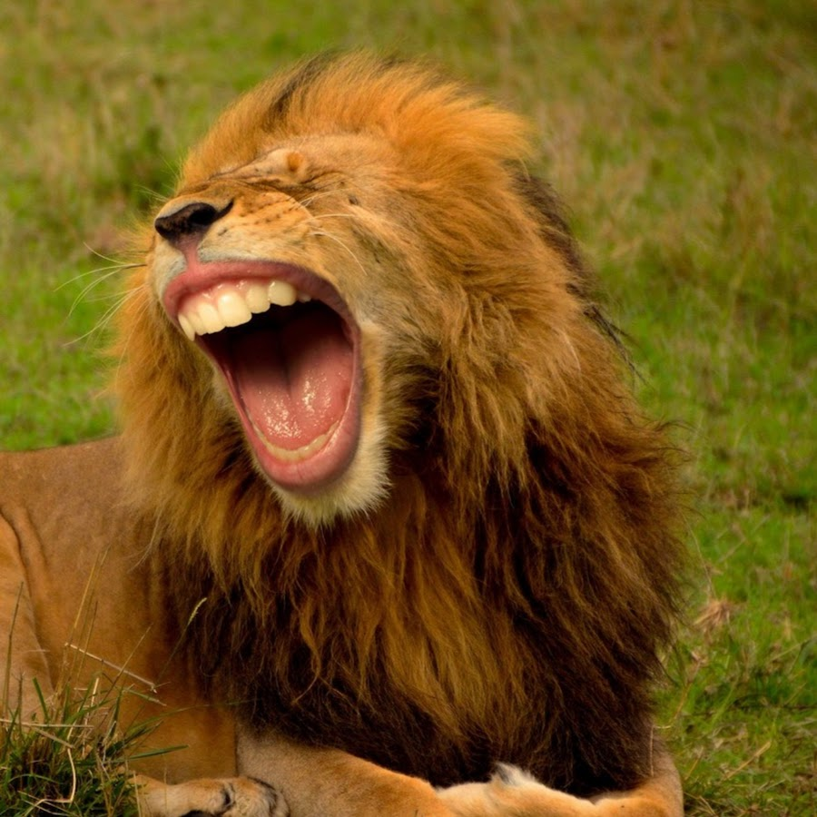 Приколы про льва картинки