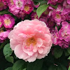 Fil Roses