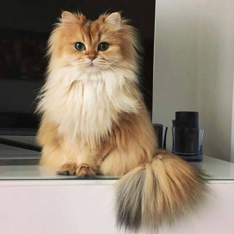 WHAT KIND OF CAT IS SMOOTHIE? - A Breed That Is Often