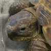 Timothy the Russian Tortoise