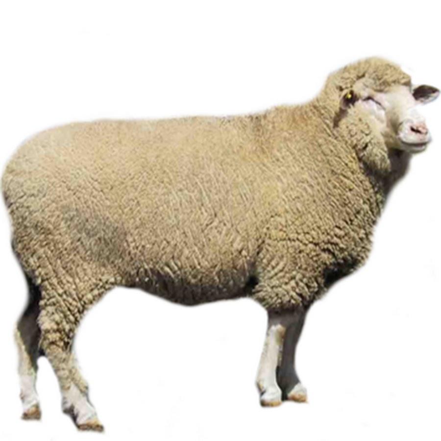 Картинки, картинки овца для детей по одному