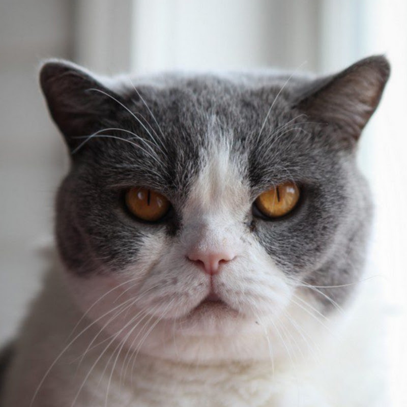 Viewer discretion is advised] British Shorthair addicted to