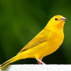 Som dos Pássaros