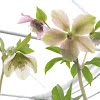 Pine Knot Farms Hellebores