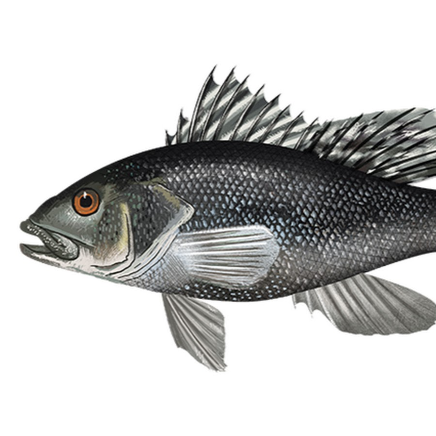 Black sea bass picture — img 3