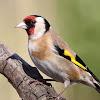 british-garden-birds.com