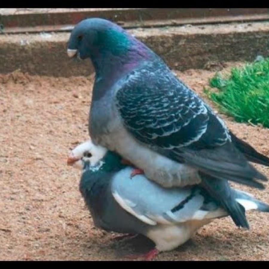 Фото голуби порно