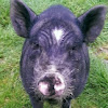 Wilma Warrior Pig