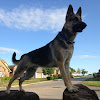 Odin the German Shepherd