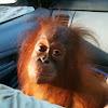 Orangutan Outreach ~ redapes.org