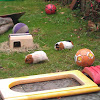 Our guinea pigs in the garden