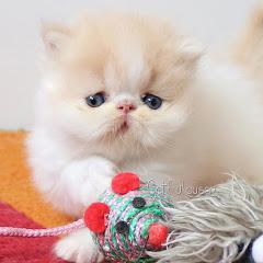 Gatil Hauser - Gatos persas e exóticos