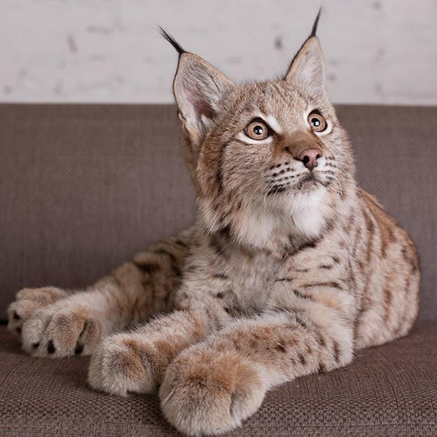 Кошка как рысь порода фото
