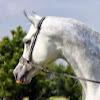 Northwind Arabians