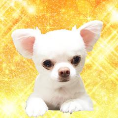 Akumade Chihuahua channel あくまでチワワチャンネル