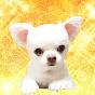 Akumade Chihuahua