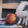 Pet Pig Education