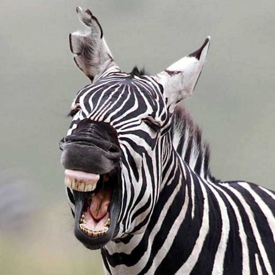 Картинках, смешная зебра в картинках