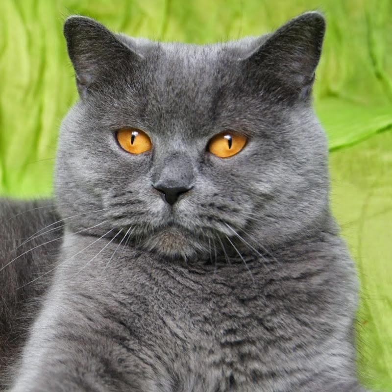 British shorthair baby cat | FunnyCat TV