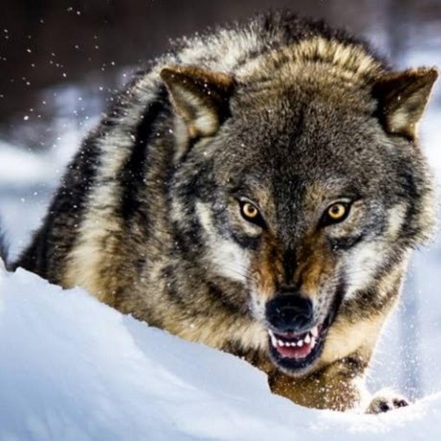 Картинка волк с надписью я не одинок я одиночка