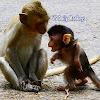 VS Daily Monkeys