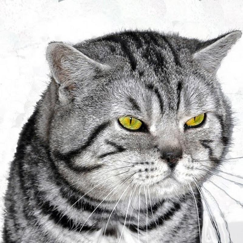British Shorthair silver tabby kittens join the Secret