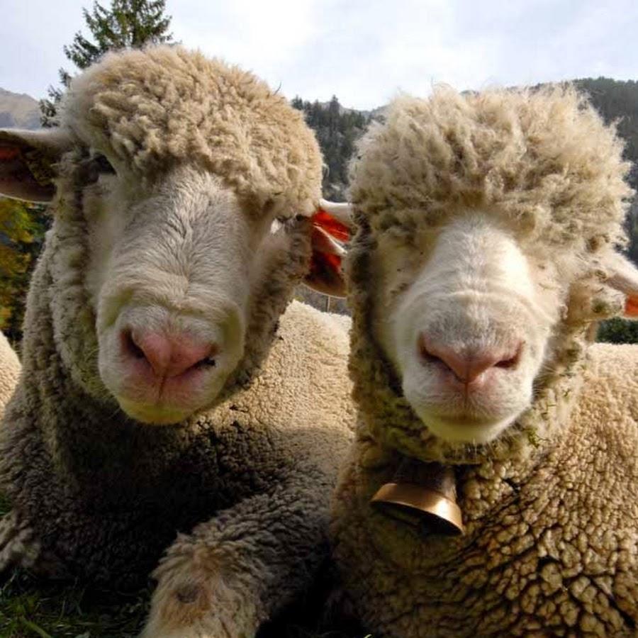 Прикольное картинки овцы и козы, марта поздравление