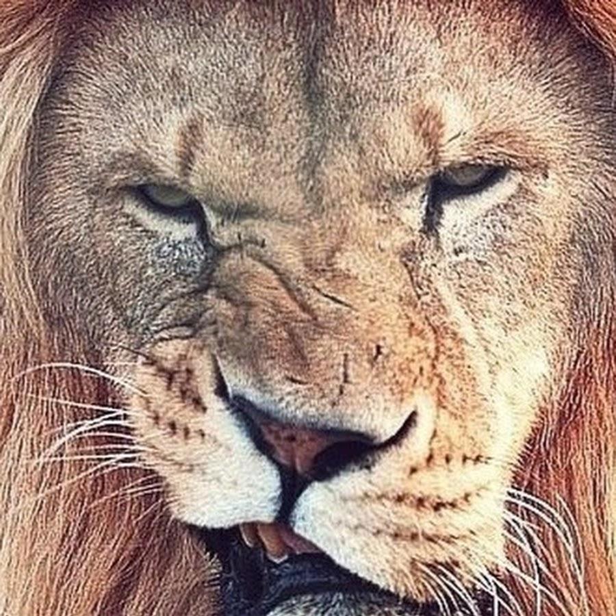 Смешные картинки львы на аватарку