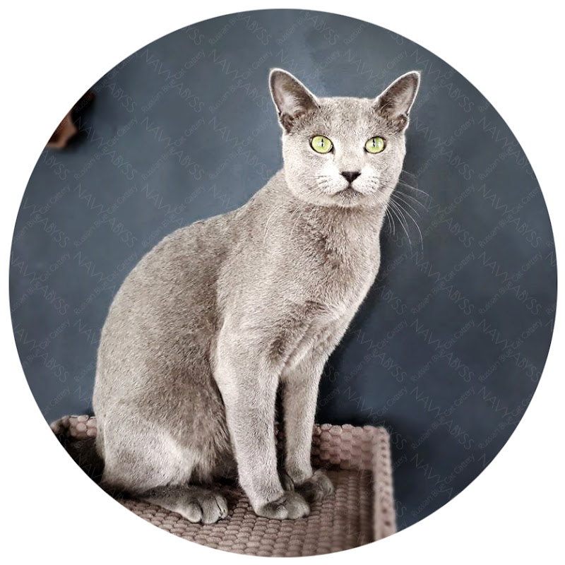 Russian Blue Cats in Amsterdam. NAVY ABYSS Cattery