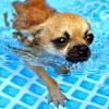 Spike Chihuahua
