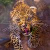 Leopard - Cheetah Channel Tv