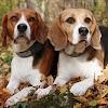 houndmusic meadows beagles.at