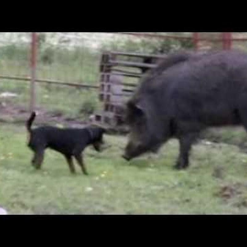 Jagdterrier & boar Cherroki 14J 2009 For   FunnyDog TV