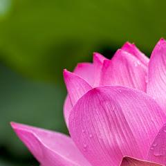 Tiny Lotus Net Worth