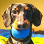 Crusoe the Dachshund