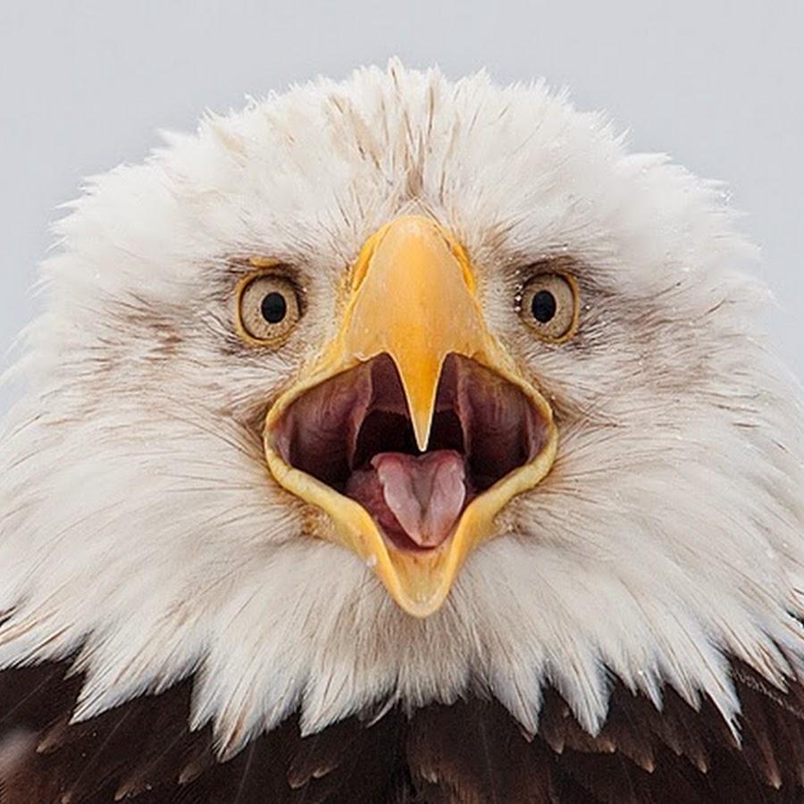 Орел прикольная картинка, ставить