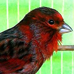 Canção Dos Pássaros Oficial