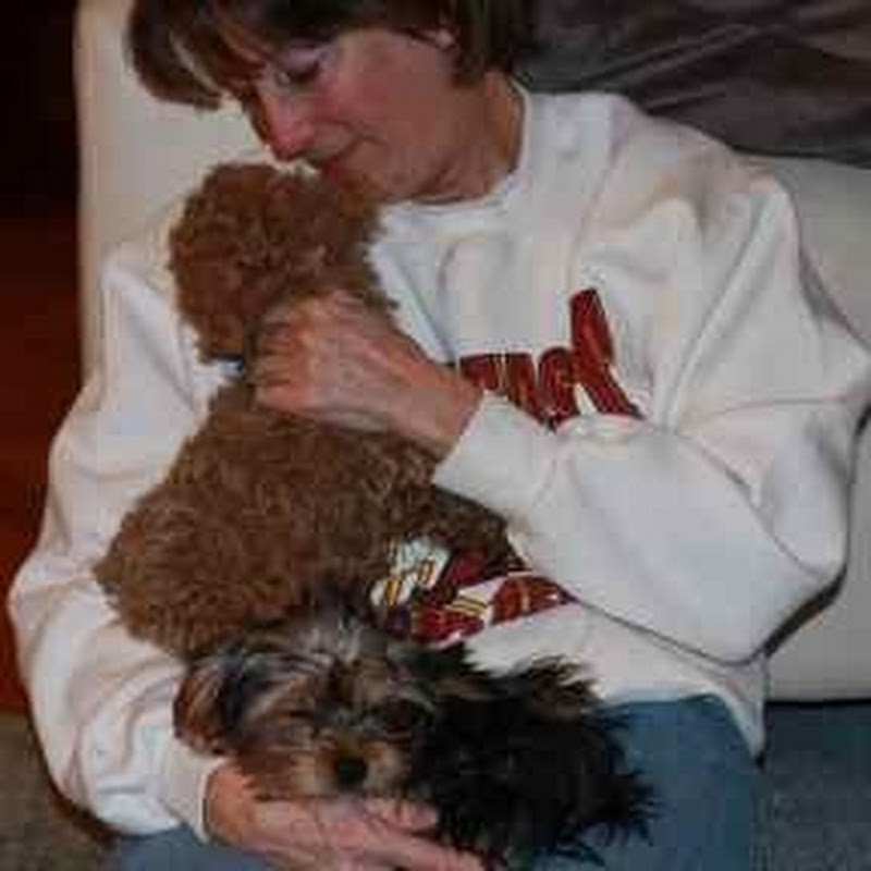 F1b Cockapoo Puppies for Sale | FunnyDog TV