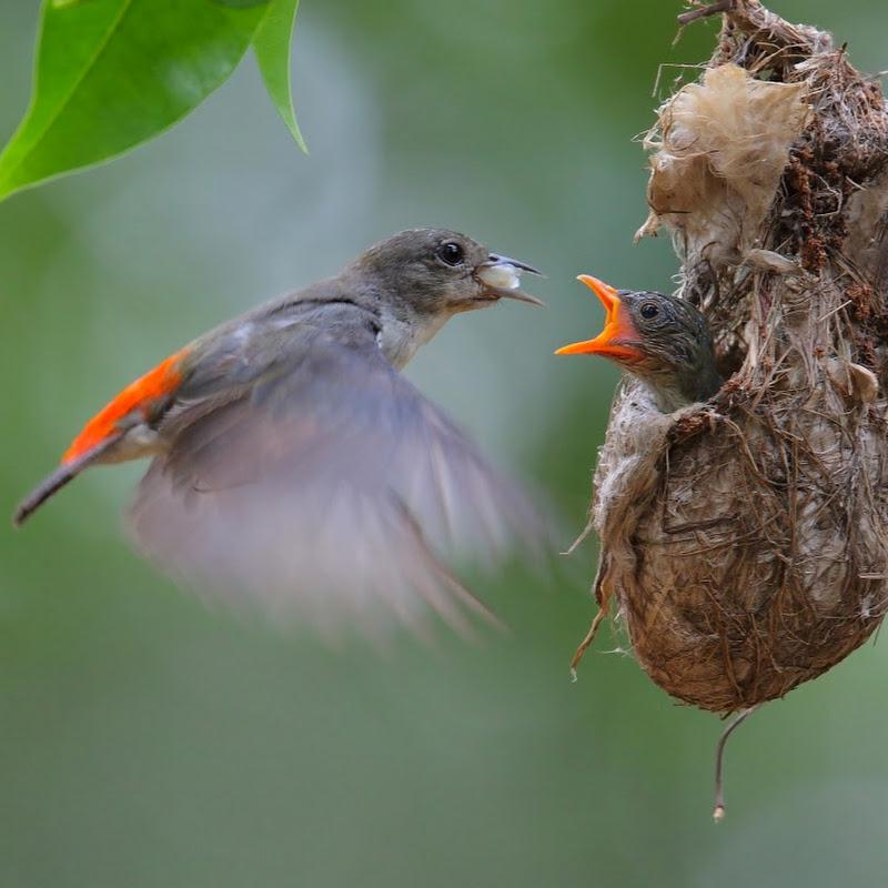 Pássaros Paixão Nacional