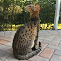 Kumba The Savannah Cat