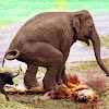 King Animals Fighting For Surviving