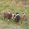 Ardagh Sheepdogs