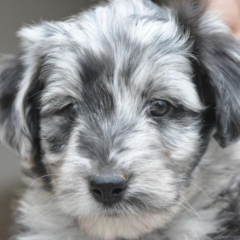 Rescue pups - Australian cattle dog Blue heeler mix
