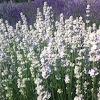 Serenity Lavender Farm Inc